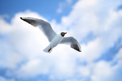White sea gulls flying in blue sunny sky Royalty Free Stock Images