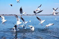 White sea gulls flying over the water surface. Flock of white sea gulls flying over the water surface on a summer day Royalty Free Stock Photography
