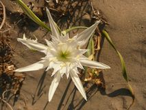 White sea lily closeup on the sand. Look like as a shape of star Royalty Free Stock Photo