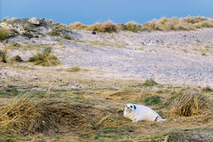 White Sea Lion on Green Grass Stock Photography