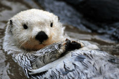 Free White Sea Otter Royalty Free Stock Photos - 12499488