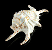 A white sea shell Stock Images
