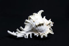 White sea shell. On blank background black royalty free stock image