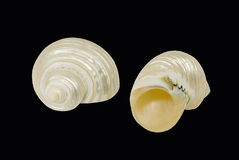 White sea shells on a black background Royalty Free Stock Photo