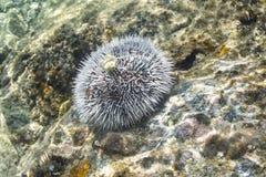 White sea urchin on Caribbean reef Stock Photos