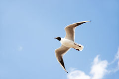 White seabird with black head and wing tips flying and soaring in the blue air filled with clouds. Royalty Free Stock Photos