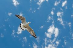 White seabird with black wing tips flight under the blue sky of the Bulgaria. Seagull view of flying above the Black sea water. stock photography