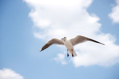White seabird with black wing tips flying and soaring up in the blue air. Royalty Free Stock Images