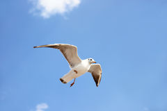 White seabird with black wing tips flying and soaring up in the blue air. Royalty Free Stock Image