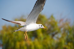 White seagull. In flight (background out of focus Royalty Free Stock Photography