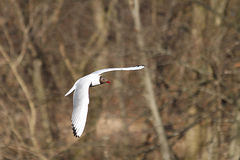 White seagull royalty free stock images
