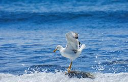 The white seagull against sea background. Royalty Free Stock Images