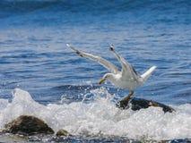 The white seagull against sea background. Stock Photos
