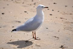 White seagull bird on the beach Stock Images