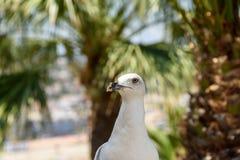 White Seagull Bird Portrait Royalty Free Stock Photo