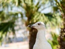 White Seagull Bird Portrait Royalty Free Stock Image