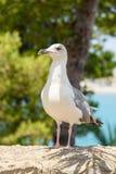 White Seagull Bird Portrait Stock Image