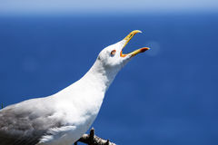 White seagull. On the blue sea background royalty free stock photo