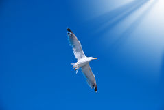 White seagull among the blue sky Royalty Free Stock Photography