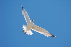 White Seagull on Blue Sky. A white seagull (of the species Larus cachinanns / yellow legged gull) photographed with its wings outspread against a blue sky. The stock images