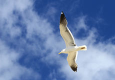 White seagull on a blue sky background Royalty Free Stock Photography