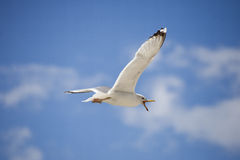 White seagull on blue sky Royalty Free Stock Image