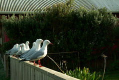 White Seagull on the building wall. Royalty Free Stock Photography