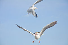 The white seagull catch food in blue sky Royalty Free Stock Images