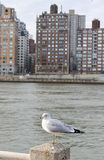 White Seagull in the City Royalty Free Stock Photo