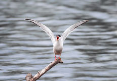 White Seagull flapping his wings and screaming sitting on a branch in the sea Stock Photography