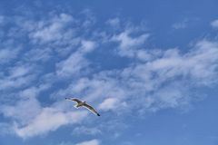 White seagull flies on a blue sky background with clouds. A white seagull flies in the sky, its wings glow in the sun. Light white clouds in a bright blue sky stock photos