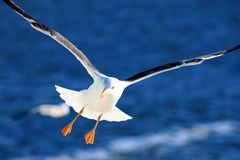 White Seagull in flight. Royalty Free Stock Photos