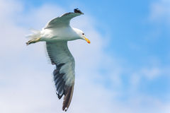 White seagull in flight. White seagull flying against partly cloudy skies royalty free stock photo