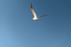 White seagull fly in the blue sky Stock Photos