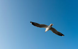 White seagull fly in the blue sky Royalty Free Stock Photography