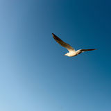 White seagull fly in the blue sky Stock Image