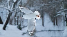 White seagull in flyght. And snow royalty free stock images