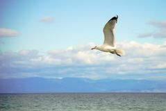 White seagull flying above the water surface with the sea and clouds background. White seagull flying above the water surface with the sea in the background Royalty Free Stock Photography