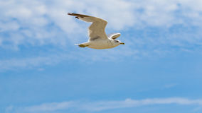 White seagull flying against a blue sky. Viewed from the side Royalty Free Stock Photo