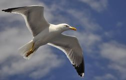 White Seagull flying against the blue sky. With white clouds stock image