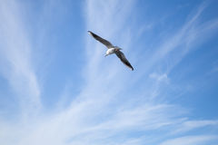 White seagull flying in blue cloudy sky background. White seagull flying on blue cloudy sky background Royalty Free Stock Photography