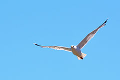 White seagull flying on blue sky stock photography