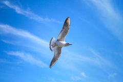 White seagull flying on blue sky background with clouds Royalty Free Stock Images