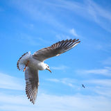 White seagull flying on blue sky background Royalty Free Stock Photo