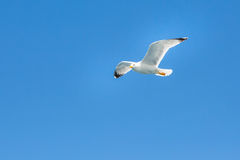 White seagull flying in the clean blue sky with wings spreaded. Freedom concept Royalty Free Stock Photos