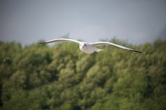The white seagull flying low. The natural animal motion scene of the white seagull flying low at top of trees level stock photography