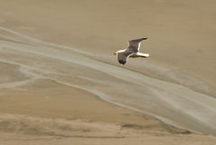 White seagull flying over atlantic beach Stock Photos