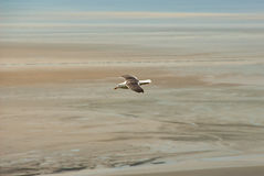 White seagull flying over atlantic beach. A white seagull with fully spread wings flying over the sand of Mont Saint-Michel beach during low tide Royalty Free Stock Image