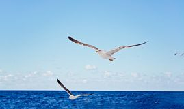 White seagull flying over blue ocean. Tenerife, Canary Islands Royalty Free Stock Image