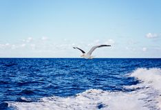 White seagull flying over blue ocean. Tenerife, Canary Islands Royalty Free Stock Photo